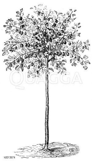 Hochstämmiger Stachelbeerstrauch Zeichnung/Illustration