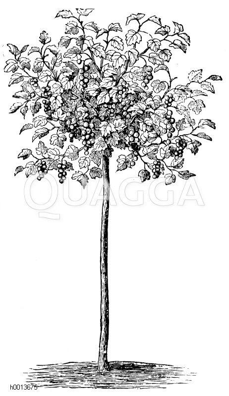 Hochstämmiger Johannisbeerstrauch Zeichnung/Illustration