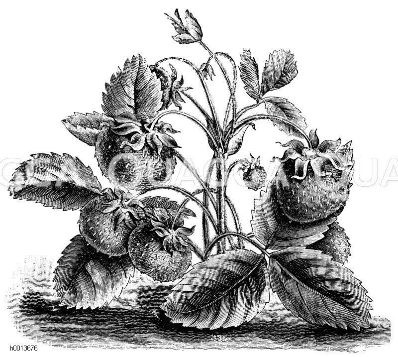Moschuserdbeere Zeichnung/Illustration
