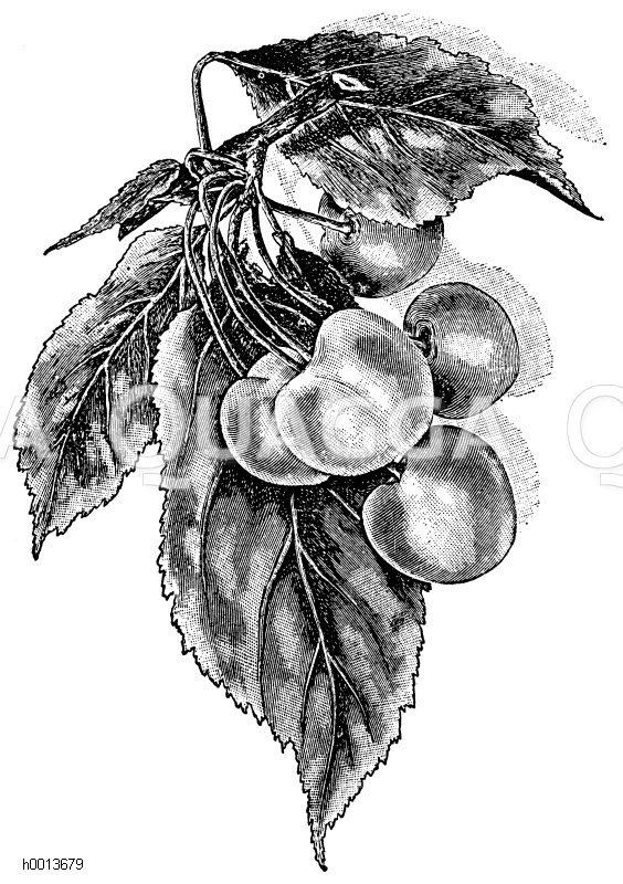Großfrüchtige Hagebutte Zeichnung/Illustration