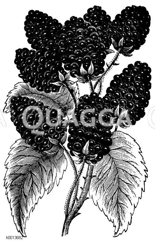 Großfrüchtige amerikanische Brombeere Zeichnung/Illustration