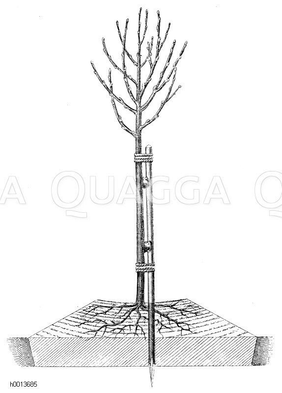 Vollständige Hügelpflanzung Zeichnung/Illustration