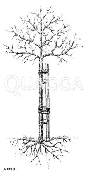 Sicher angebundener Baum Zeichnung/Illustration