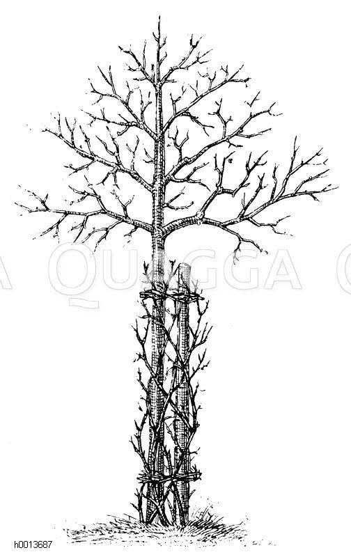 Mit Dornen umwandener Obstbaum Zeichnung/Illustration
