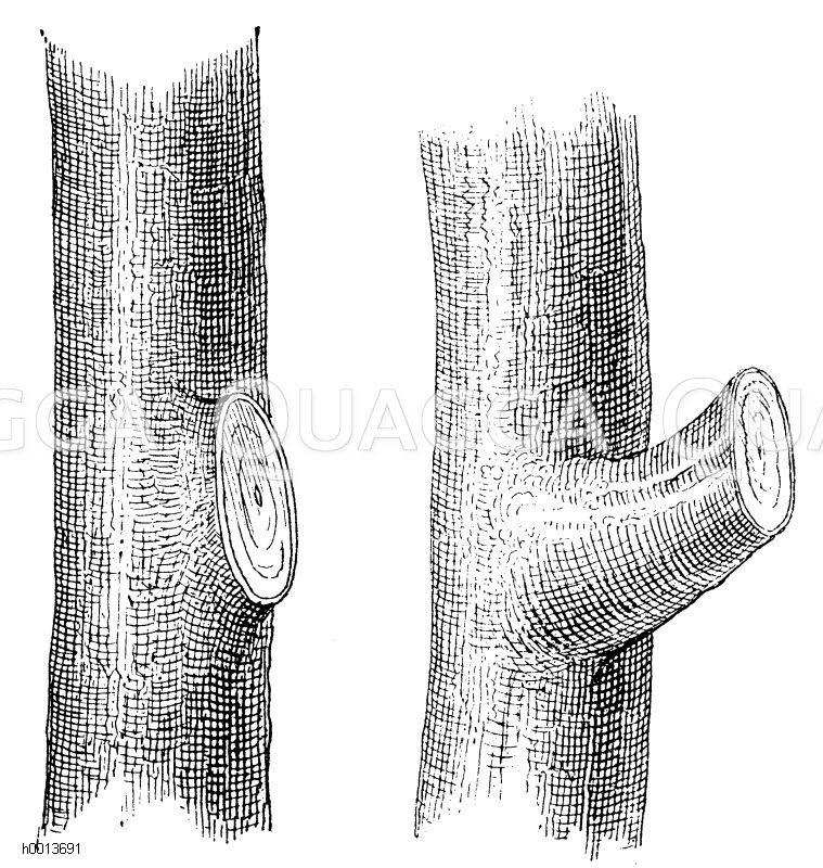 links: Richtig ausgeführtes Absägen eines starken Astes