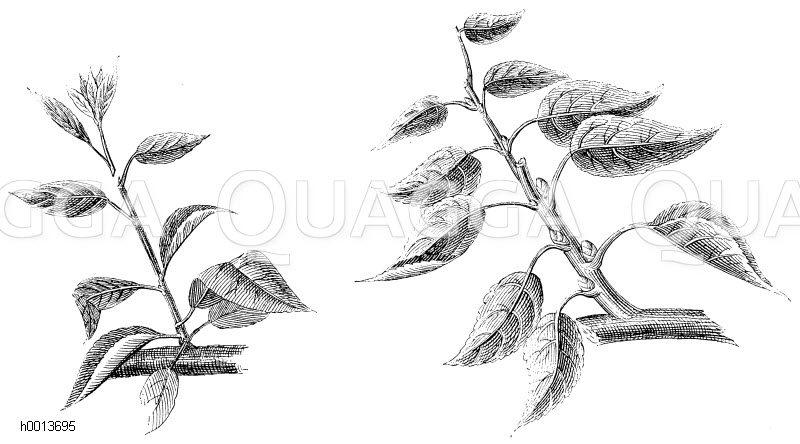 links: Erstes Pincieren der zu Fruchtholz bestimmten Seitentriebe