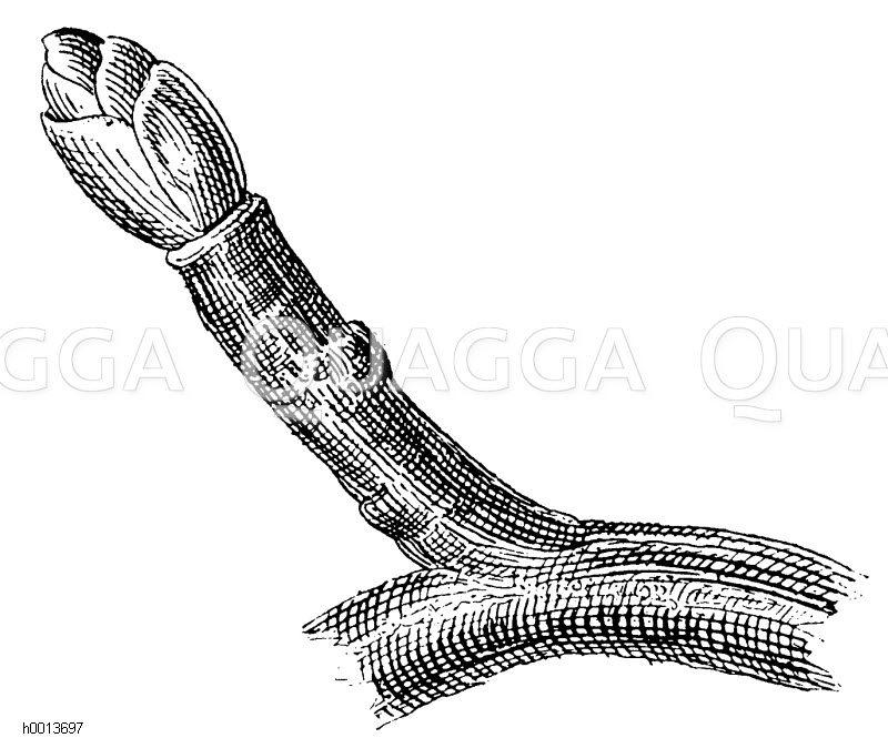 Ringelspieß an den Fruchtzweigen der Kernobstbäume Zeichnung/Illustration