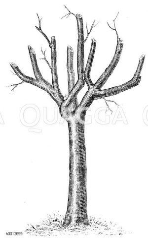 Durch Zurückschneiden der Äste verjüngter Obstbaum Zeichnung/Illustration
