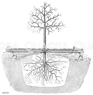 Pflanzung eines stärkeren Baumes Zeichnung/Illustration
