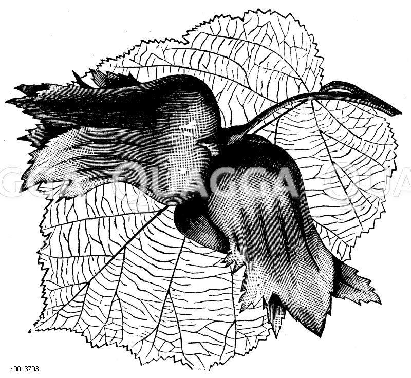 Großfrüchtige Lambertnüsse Zeichnung/Illustration