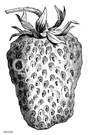 Erdbeere Gloire de Zuidwyck Zeichnung/Illustration