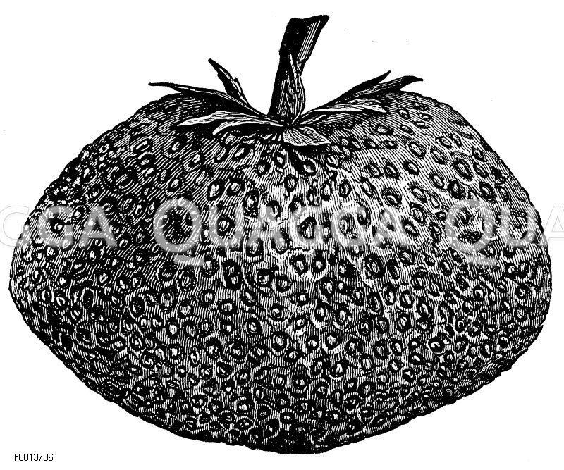 Erdbeere König Albert von Sachsen Zeichnung/Illustration