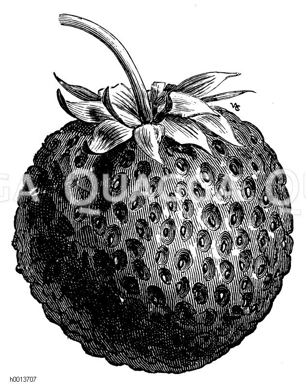Erdbeere Laxstons Noble Zeichnung/Illustration