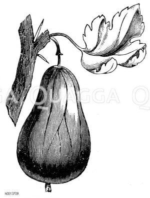 Englische Stachelbeere Zeichnung/Illustration