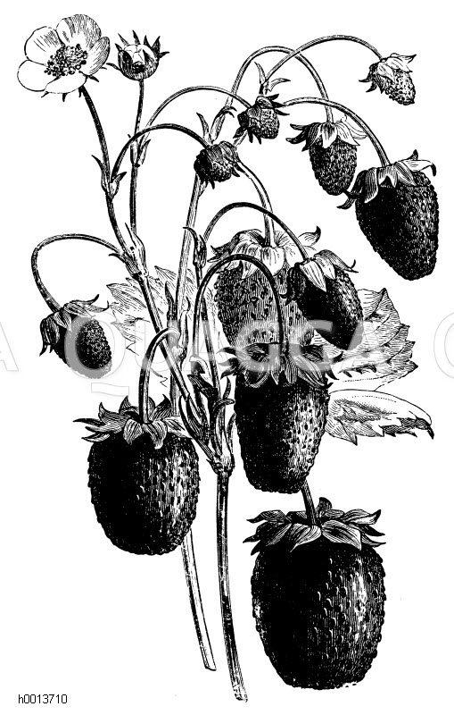 Monats-Erdbeere (Schöne von Meaux) Zeichnung/Illustration