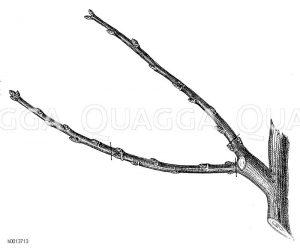 Schnitt des Fruchtholzes ab dem zweiten Jahr Zeichnung/Illustration