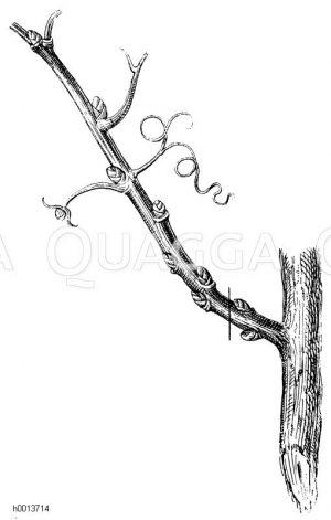 Erster Schnitt der Fruchtreben am Weinstocke im Herbst nach der Ernte der von derselben geernteten ersten Trauben Zeichnung/Illustration
