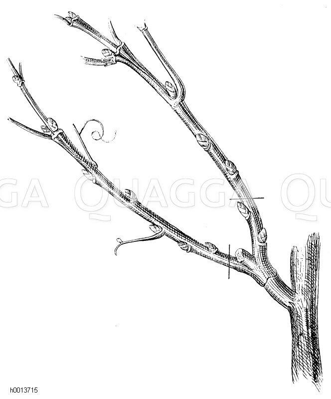 Schnitt der Fruchtreben am Weinstocke im Herbst des zweiten Jahres nach Aberntung der von beiden gelieferten Trauben Zeichnung/Illustration