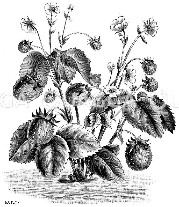 Ausläuferfreie Monats-Erdbeeren Zeichnung/Illustration