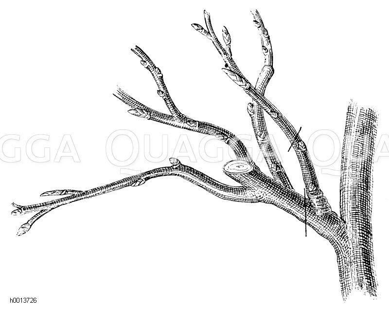 Verjüngung älterer zu groß gewordener Fruchtzweige beim Kernobst Zeichnung/Illustration