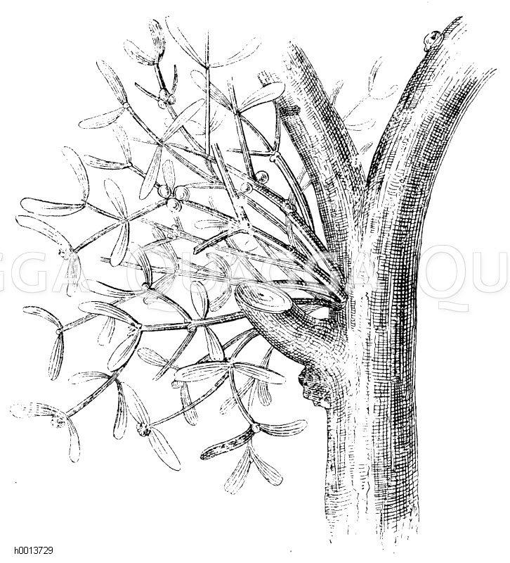 Loranthaceae - Mistelgewächse