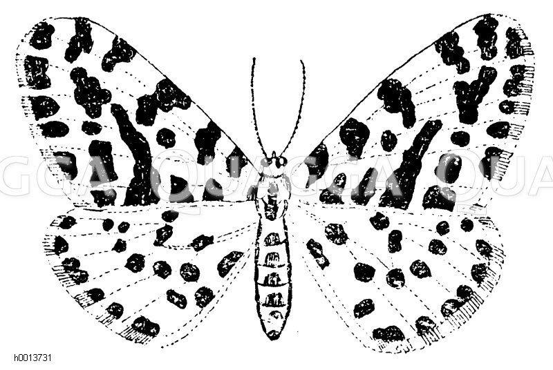 Stachelbeerspanner Zeichnung/Illustration
