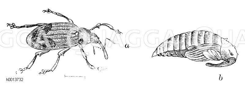 Apfelblütenstecher (Anthonomus pomorum)