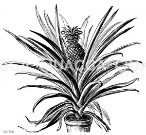Ananas Zeichnung/Illustration