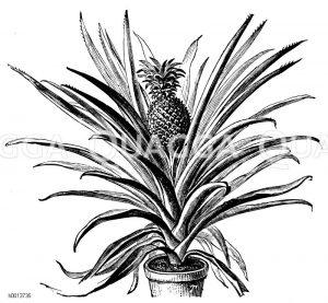 Ananas Zeichnung/Illustration