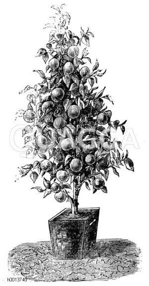 Apfelpyramide Zeichnung/Illustration