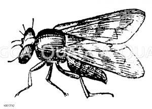Kirschfliege Zeichnung/Illustration