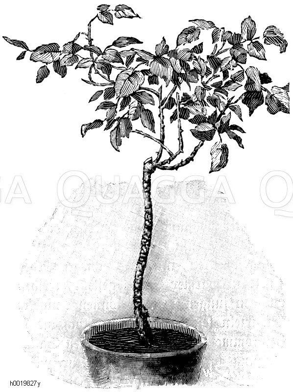 Abgetriebene Rose nach dem Schnitt Zeichnung/Illustration