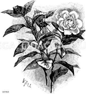 Blütenreiche Florida Zeichnung/Illustration