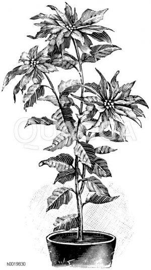 Schönste Poinsettie Zeichnung/Illustration