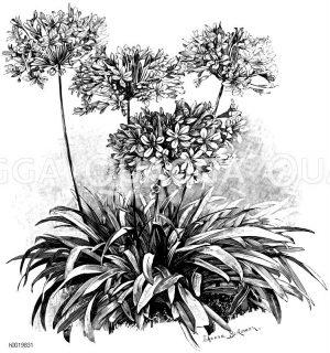 Doldenblütige Schmucklilie Zeichnung/Illustration