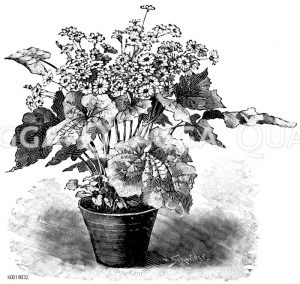 Halbhohe Cinerarie Zeichnung/Illustration