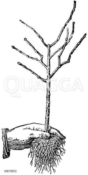 Aufgelockerter und geschnittener Wurzelballen Zeichnung/Illustration