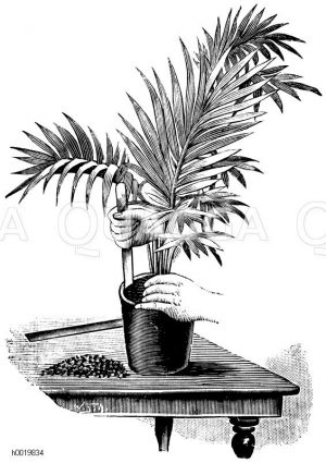 Verpflanzen einer Kentiapalme mit dem Verpflanzholz Zeichnung/Illustration