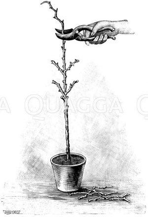 Schneiden eines jungen Rosenstämmchens mit der Rosenschere Zeichnung/Illustration