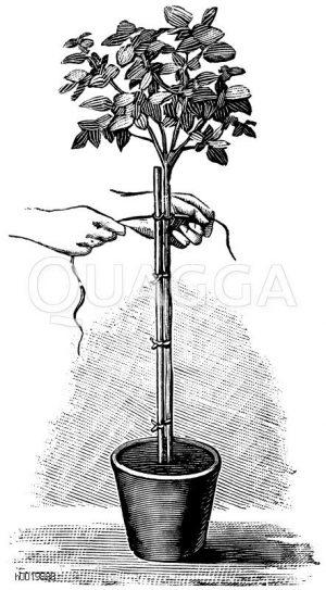 Aufbinden eines kleinen Kronenbäumchens Zeichnung/Illustration