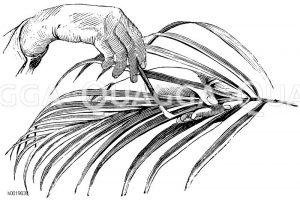 Reinigen der Blattrinnen bei einer Dattelpalme mit Pinsel Zeichnung/Illustration