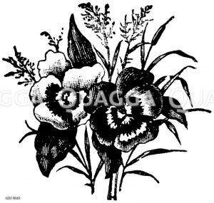 Vignette: Stiefmütterchen Zeichnung/Illustration