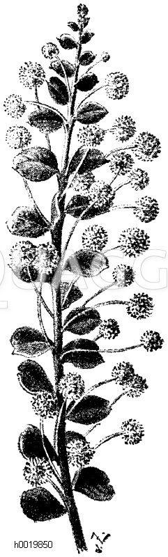 Akazie mit Blattstielblättern Zeichnung/Illustration
