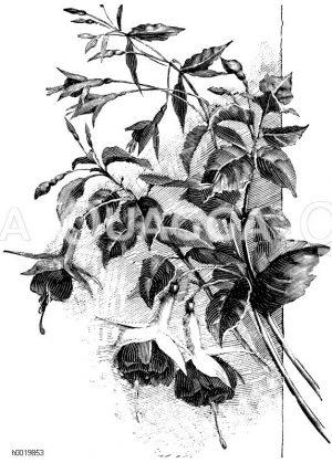 Fuchsienzweige Zeichnung/Illustration
