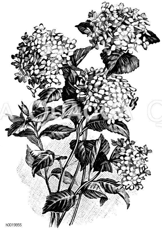 Hydrangaceae - Hortensiengewächse