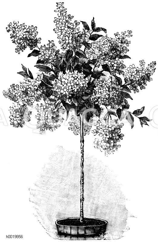 Rispenblütige Hortensie Zeichnung/Illustration