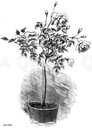 """Halbstämmige Topfrose (Teerose """"Namenlose Schöne"""") Zeichnung/Illustration"""