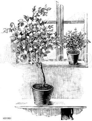 Aufstellung halbstämmiger und niederer Rosen am Zimmerfenster Zeichnung/Illustration