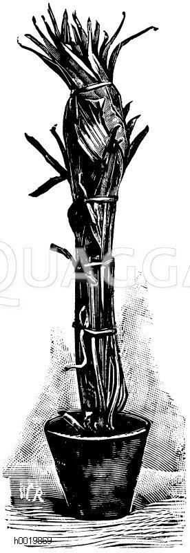 Fächerpalme mit zusammengebundenen Blättern Zeichnung/Illustration