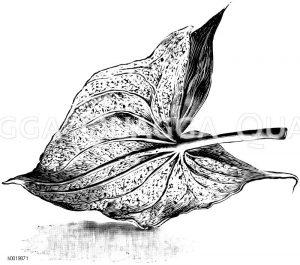 Rückseite eines von Spinnmilben befallenen Blattes des Pfeilkrautes von Montevideo Zeichnung/Illustration